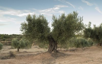 La pasión por el olivo llega al Bajo Aragón y al Matarraña en forma de 12 oleorutas