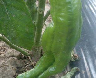 Pimientos verdes rellenos